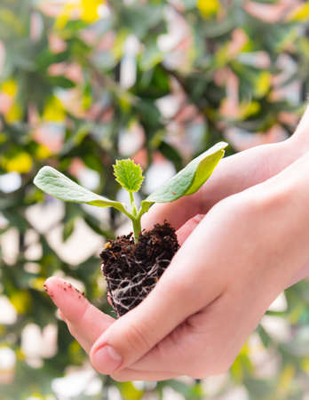 Close-up of woman's hands gently holding seedling plant