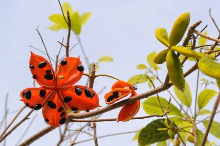 pflanze wachstum: der Same Sterculia lanceolata Baum, es ist eine tropische Pflanzenwachstum in S�dasien.