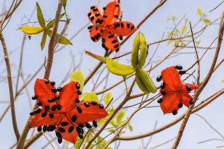 crecimiento planta: la semilla del �rbol lanceolata Sterculia, se trata de un crecimiento de la planta tropical en el sur de Asia.