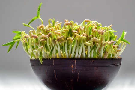 coconut seedlings: mung bean sprouts with green leaves in the coconut bowl.