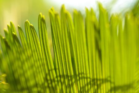 cycas: close up of sago cycas leaf Stock Photo
