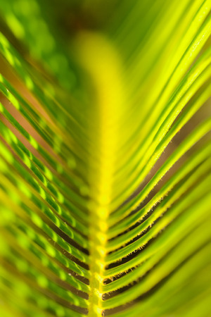 cycadaceae: close up of sago cycas leaf Stock Photo