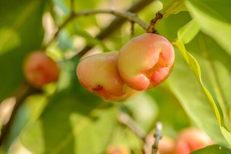 waxes: wax apple on the tree Stock Photo