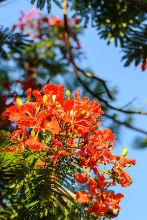 passe: fruit of delonix regia Stock Photo