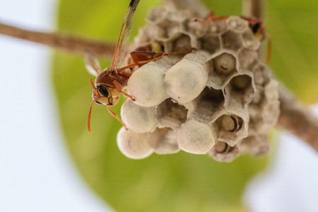 pupae: wasp and their building Stock Photo