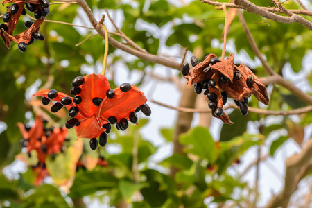 malvales: the seed of Sterculia lanceolata tree, it is a tropical plant growth in South Asia. Stock Photo