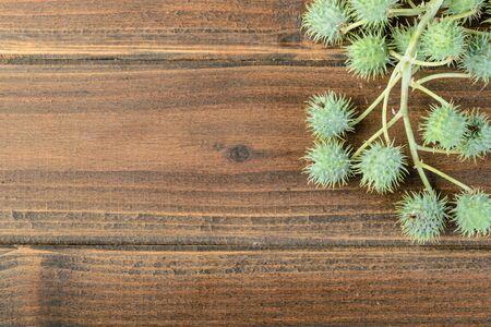 castor: fruit of castor plant Stock Photo