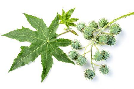 castor: castor leaves and fruit