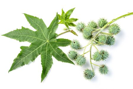 ricin: feuilles de ricin et de fruits