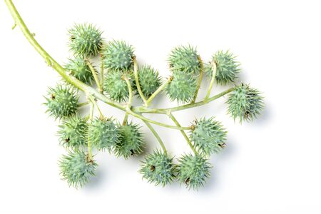 ricin: ricin fruits