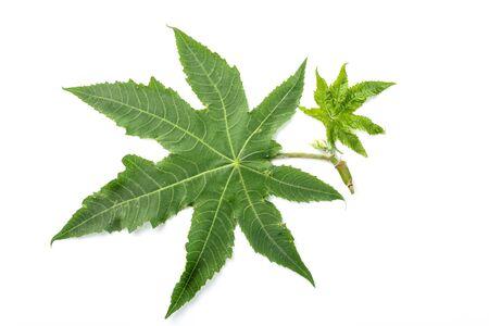 castor: castor leaves