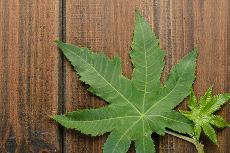 ricin: feuilles de ricin