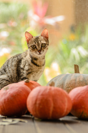 little fox tabby cat sitting with pumpkins photo