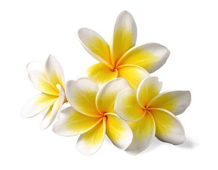 fresh yellow pulmeria flowers on white