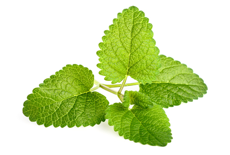 fresh lemon balm leaves isolated on white