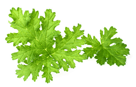 fresh rose geranium leaves isolated on white 版權商用圖片