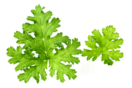 fresh rose geranium leaves isolated on white 免版税图像