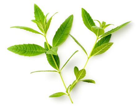 fresh lemon verbena leaves isolated on white