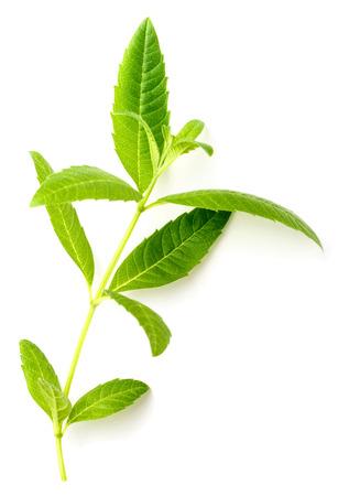 白に分離された新鮮なレモンバーベナの葉