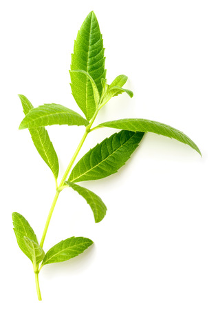 fresh lemon verbena leaves isolated on white