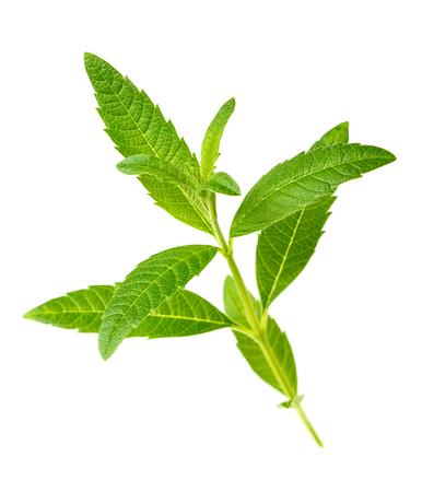 fresh lemon verbena isolated on white background