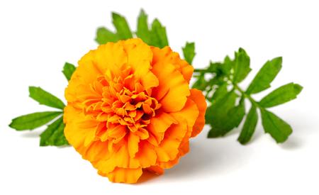 fresh marigold flower isolated on the white background
