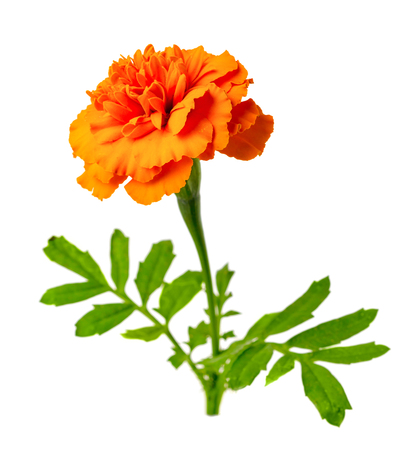 fresh marigold flower isolated on the white background