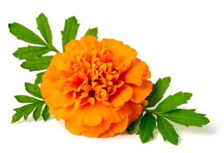 fresh marigold flowers isolated on white background Zdjęcie Seryjne - 95051894