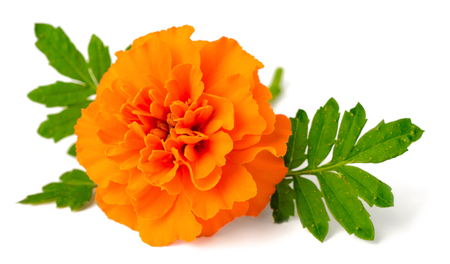 fresh marigold flowers isolated on white background Imagens - 95051900