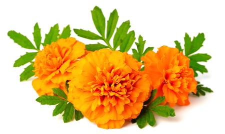 fresh marigold flowers isolated on white background Archivio Fotografico