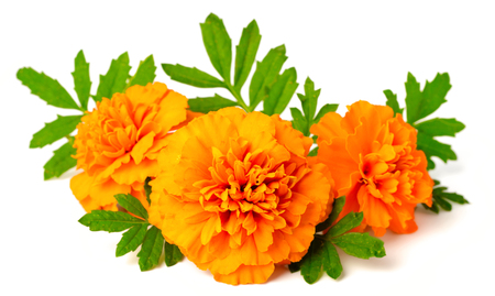 fresh marigold flowers isolated on white background 免版税图像