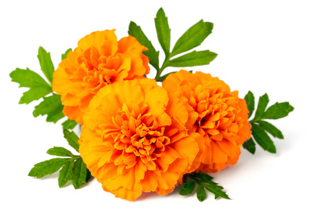 fresh marigold flowers isolated on white background Фото со стока