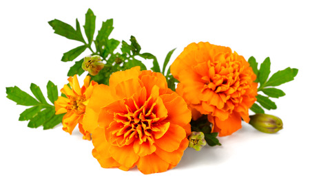 closeup of fresh marigold flower isolated on white