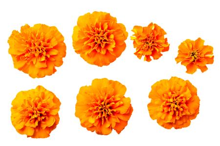 fresh orange marigold flowers isolated on white, top view