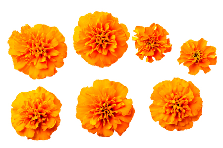 fresh orange marigold flowers isolated on white, top view
