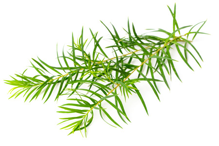 fresh tea tree leaves isolated on white background