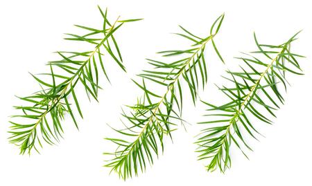 fresh tea tree leaves isolated on white background