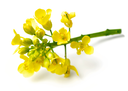 fresh canola flowers isolated on white 写真素材