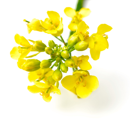 fresh canola flowers isolated on white background