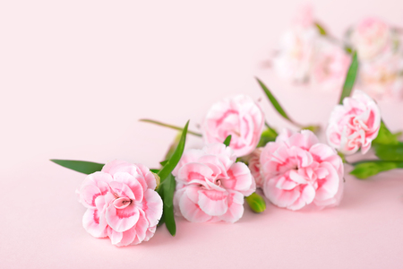 pink carnations on the pink background
