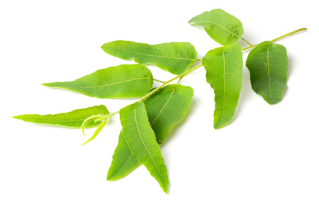 fresh eucalyptus leaves isolated on white