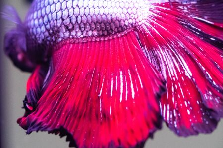 Betta fish, siamese fighting fish, betta splendens close up