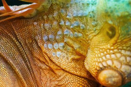 Iguana close up macro animal portrait photo