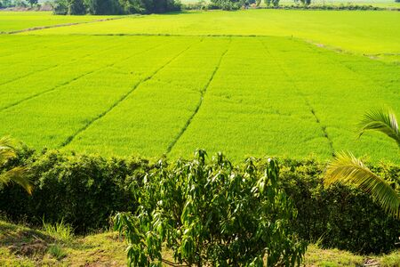 Green rice field in Thailand, landscape asia outdoor food natural Stok Fotoğraf