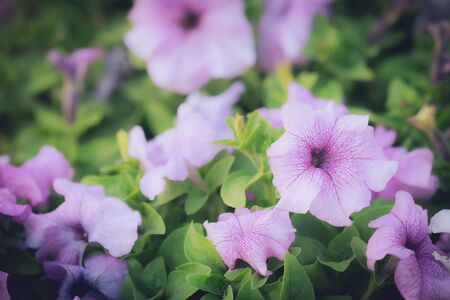 Beautiful summer Purple Pink flower blooming in garden background