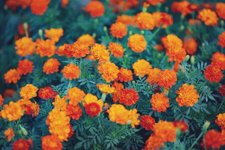 Beautiful summer orange flower blooming in garden background