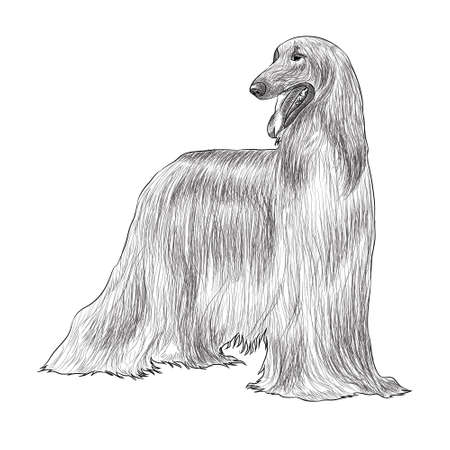 Afghan Hound Digital Sketch Isolated On White