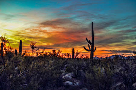 Saguaros  Sunset Stock Photo