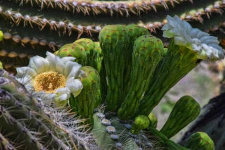 saguaro cactus: Saguaro Cactus Blooms Stock Photo
