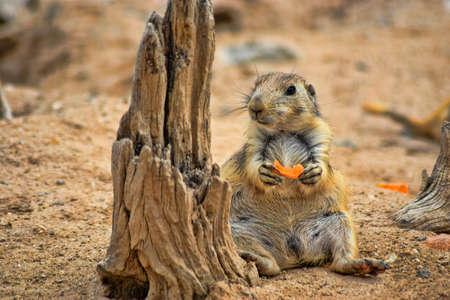 prairie dog: Prairie Dog eating a carrot